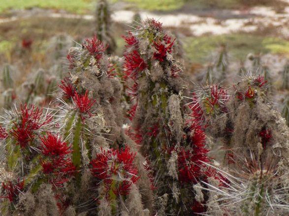 Cactus Damas Island