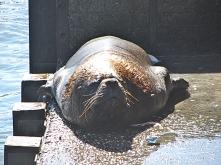 Smelly Sea Lion