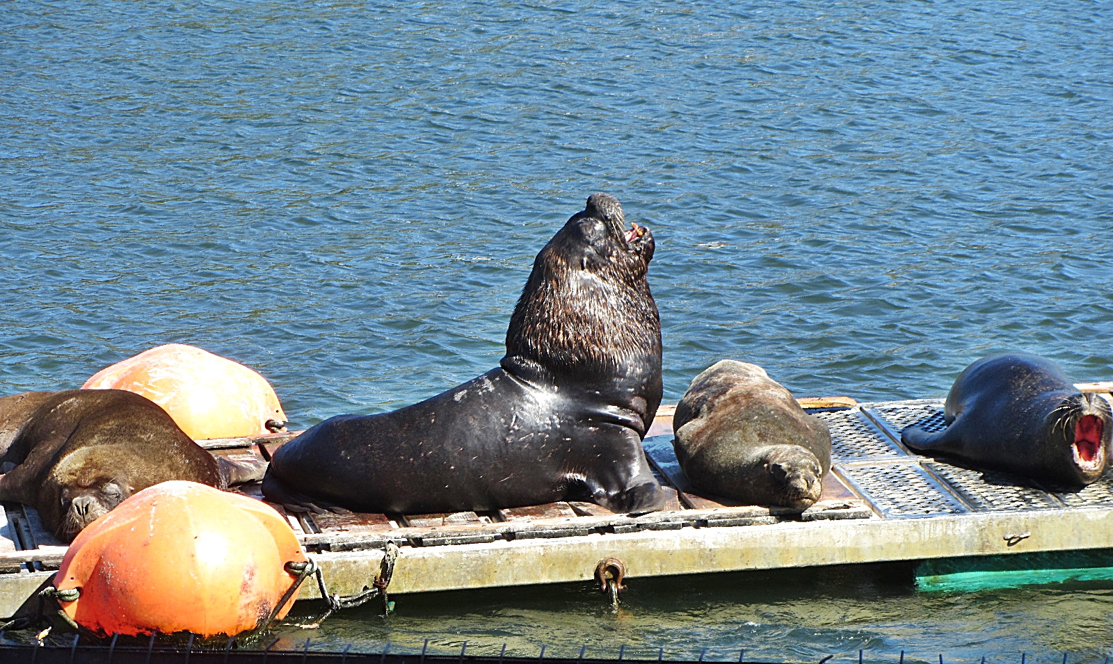 Valdivia Sea Lion