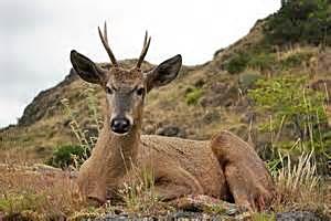 Andean Huemul