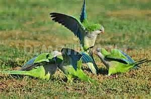 Argentinian Green Parrot