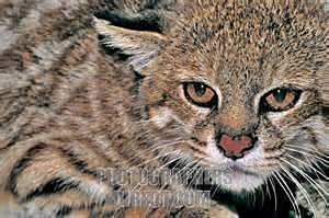 Austral spotted wild cat