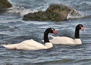Black Swans Canal Señoret