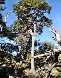 Coihue Tree