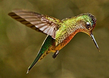 Green Backed Firecrown