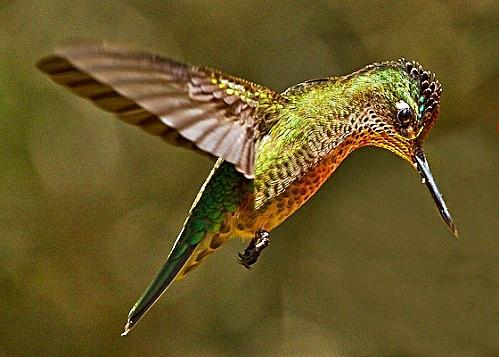 green backed firecrown hummingbird