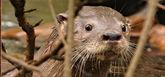 Huillin River Otter Loutre du Chili - Manimalworld