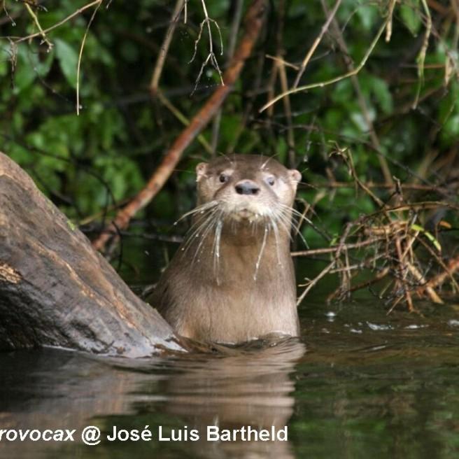 Lontra Provocax (Huillin) Jose Luis Bartheld - IUCN OSG