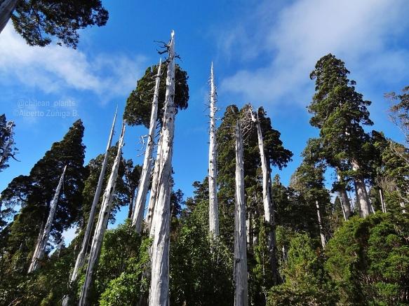 Patagonian Cypress - Alberto Zúñiga B.