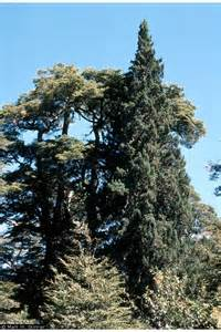Patagonian Cypress
