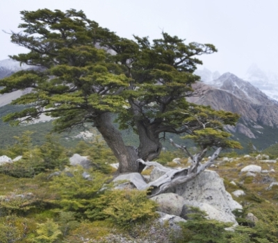 Southern Beech Tree