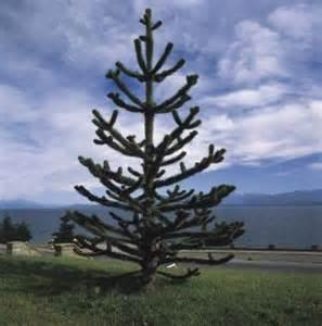 Indigenous Tree