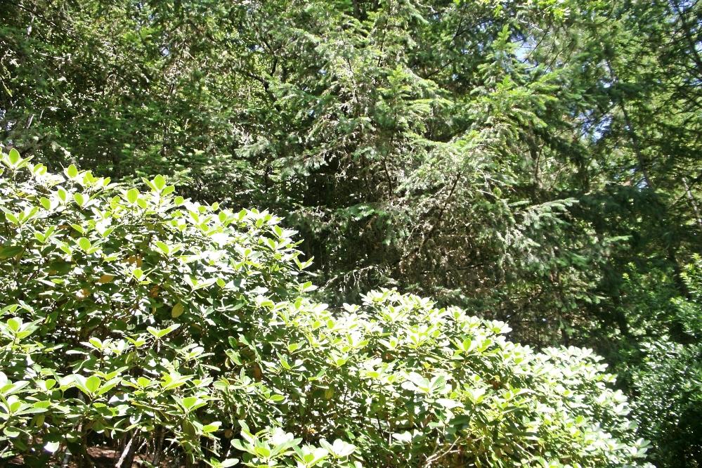 Rhodadendrons