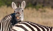 Zebra Botswana