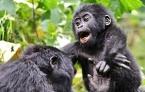 Baby Gorilla Lake Bunyonyi Uganda