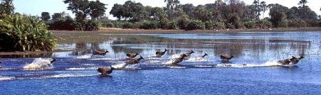 Lechwe Okavango Delta Botswana
