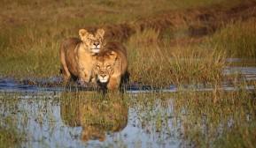 Lionesses Botswana