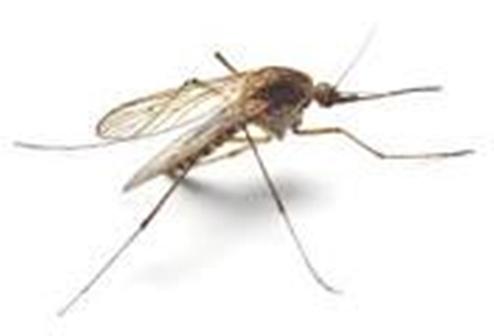 malaria mosquito1