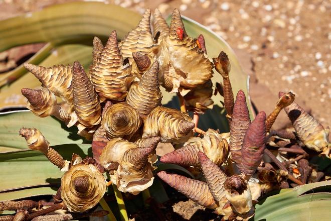 Welwitschia Mirabilis - Lightbox3D