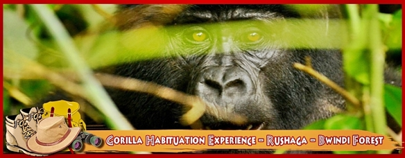 gorilla-habituation-experience-rushaga-bwindi-forest