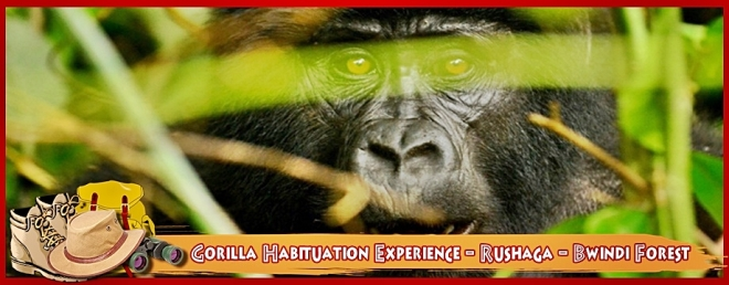gorilla-habituation-experience-rushaga-bwindi-forest