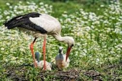 Daisy Stork with Babies
