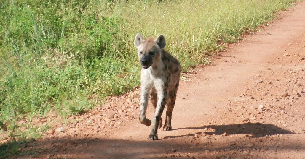 Hyena with Injured Paw