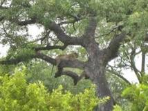 African Marula Tree