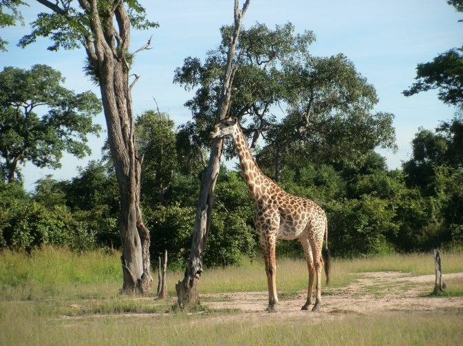 Thorneycroft's Giraffe