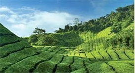 Highland Tea Estate