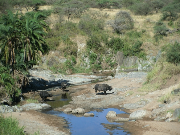 Buffalo at the Watering Hole