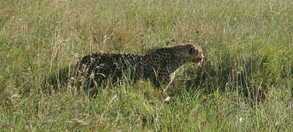 Cheetah Preparing to Hunt
