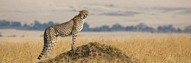 Cheetah Serengeti National Park - Audley Travel