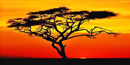 flat topped acacia