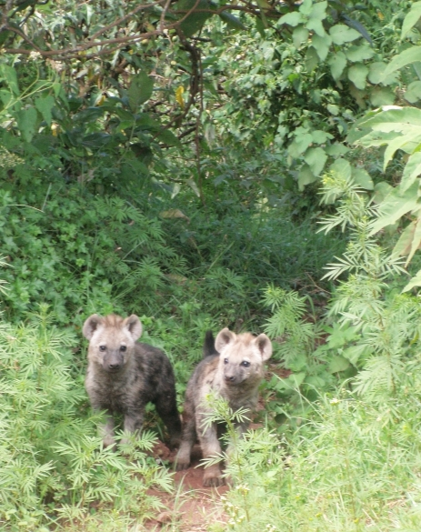 Hyena Twins