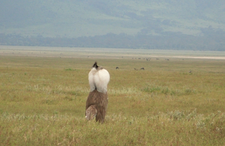 Kori Bustard Mating Dance