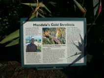 Mandela's Gold Strelitzia