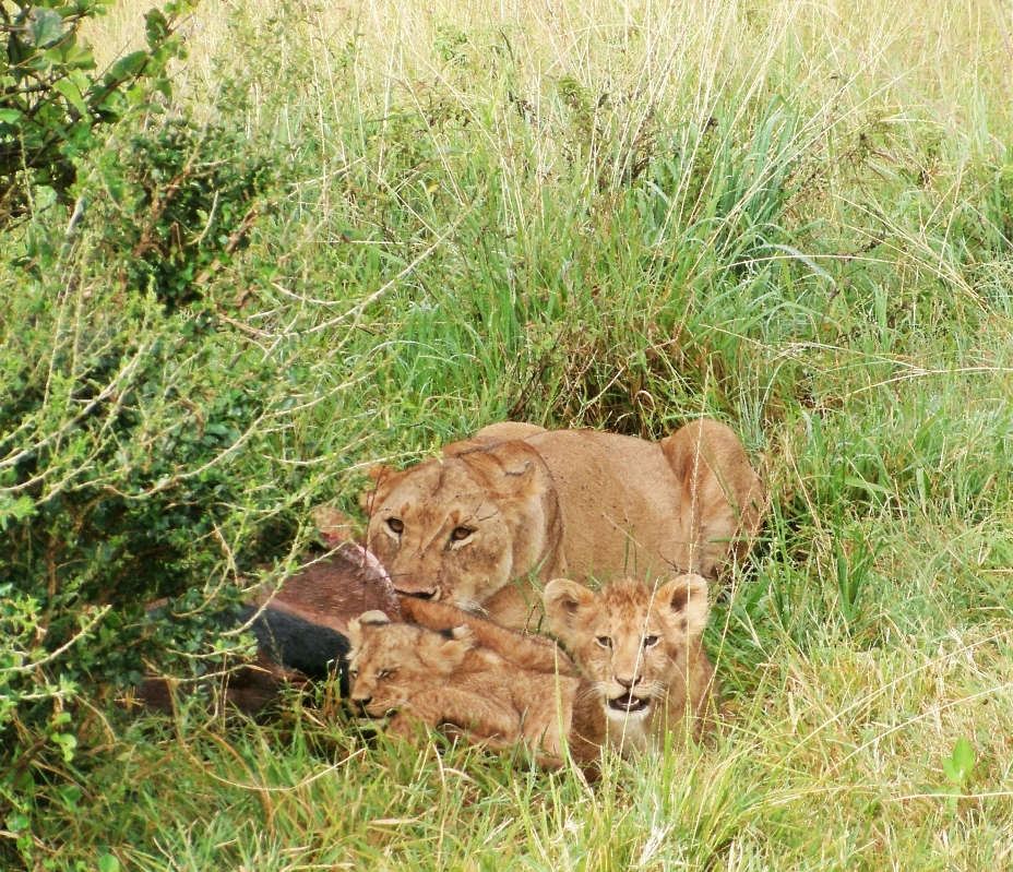 Twin Lion Cubs