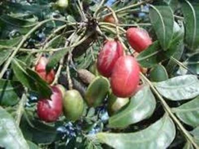 Cape Ash Berries