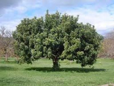 Cape Ash Tree