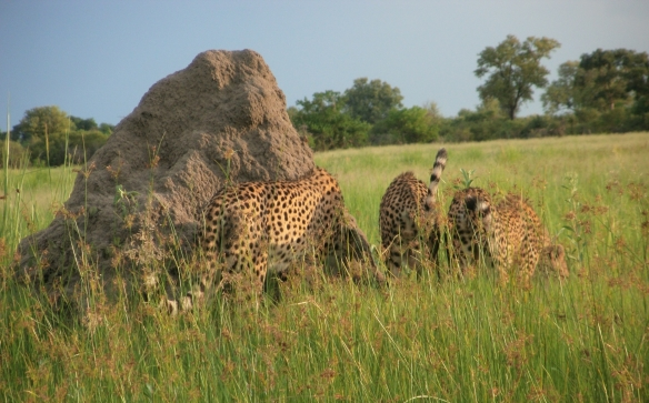 Cheetah Tails