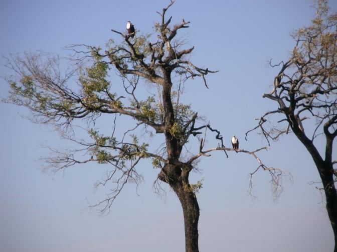 Fish Eagles