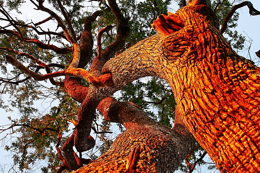 Leadwood Tree