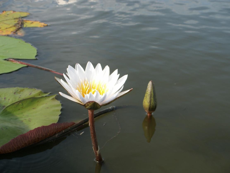 Delta Waterlily