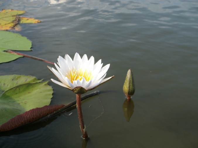 Delta Waterlily