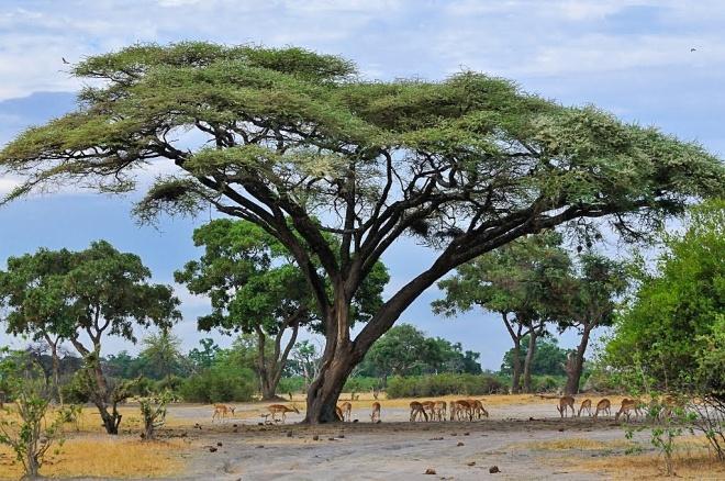 Umbrella Thorn Tree Acacia Tortilis Mombo