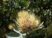 White Pincushion Protea
