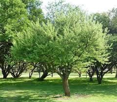 Wild Peach Tree
