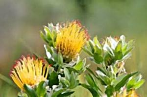 Yellow Pincusion Proteas