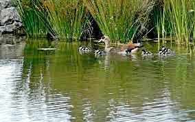 Ducks Green Point Garden
